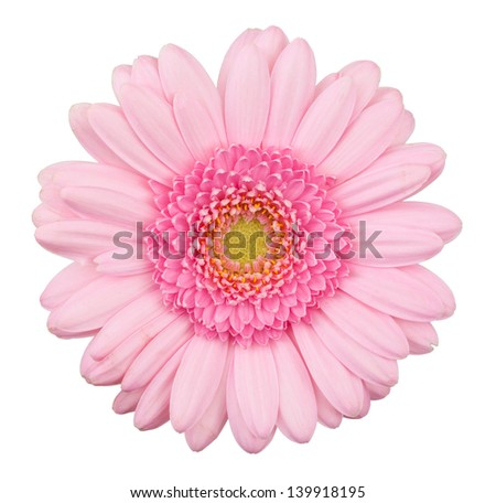 Pink gerbera flower isolated, macro, isolated on white - stock photo