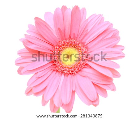 pink gerbera flower isolated on a white background - stock photo