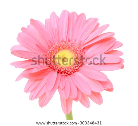 pink gerbera flower, isolated on a white background