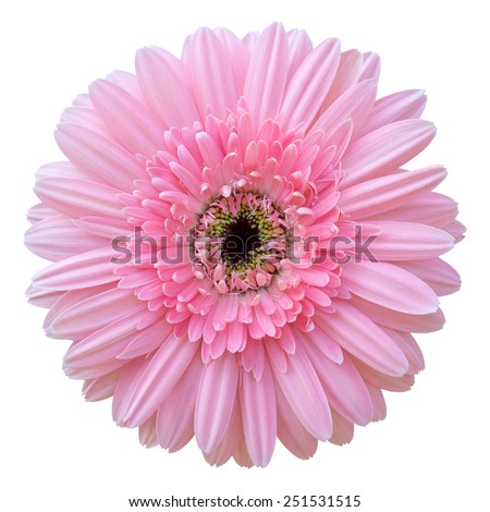 pink gerbera flower isolated on white with clipping path