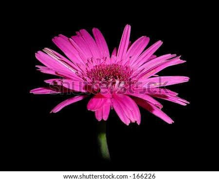 Pink gerbera flower on a black background. genus of South African or Asiatic herbs: African daisies.