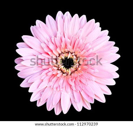 pink gerbera flower on black background with clipping path - stock photo
