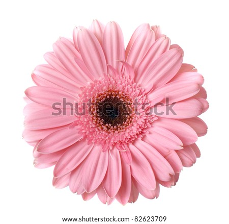 pink gerbera flower on white - stock photo