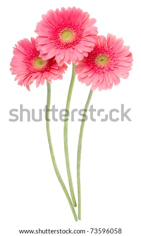 pink gerbera flowers - stock photo