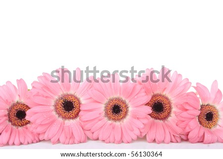 Pink Gerbera flowers isolated on white