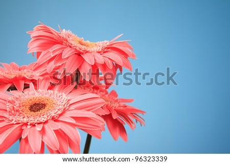 Pink gerbera flowers on a blue background - stock photo