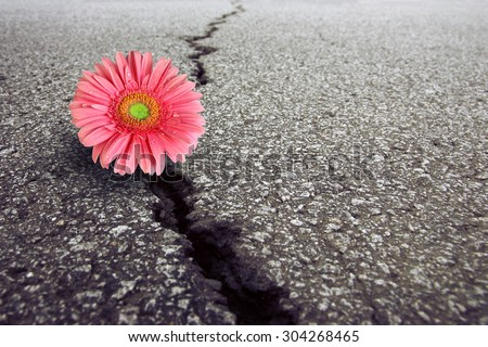 Pink Gerbera  growing on crack in old asphalt pavement - stock photo