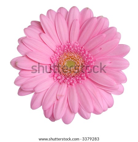 Pink gerbera head isolated on a white background