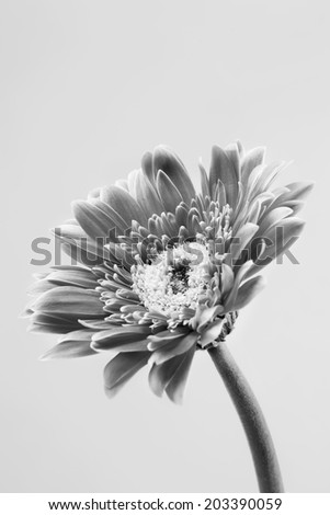 pink gerbera in black and white - stock photo