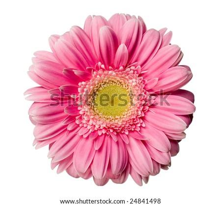 Pink gerbera isolated - stock photo