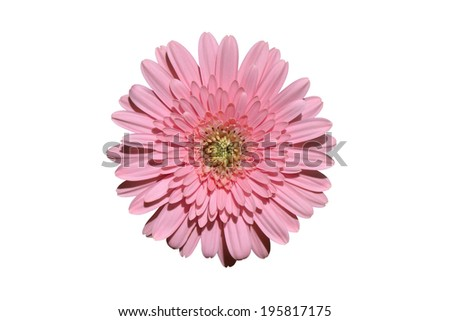 Pink gerbera  isolated flower background closeup - stock photo