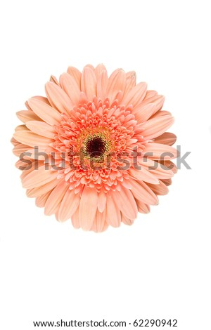 Pink gerbera isolated on white - stock photo