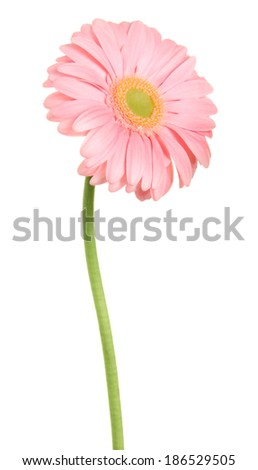 Pink gerbera isolated on white background.  - stock photo