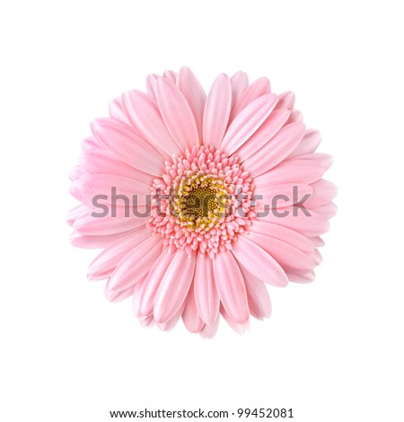 Pink gerbera isolated on white background