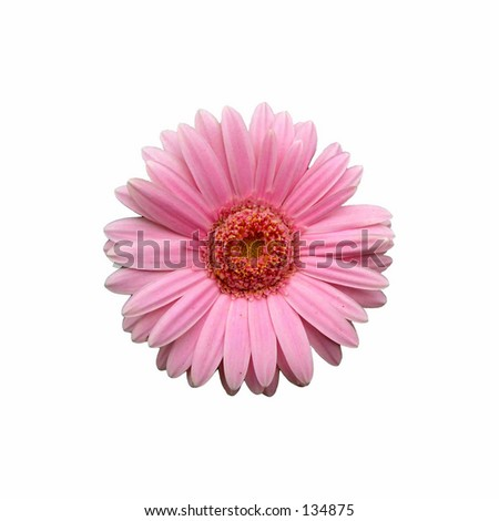 Pink Gerbera on white backgound - stock photo