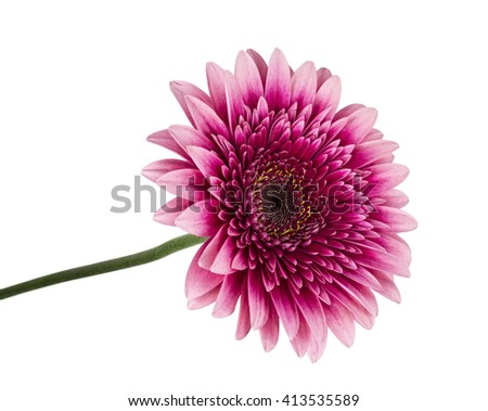 Pink gerbera on white background isolated