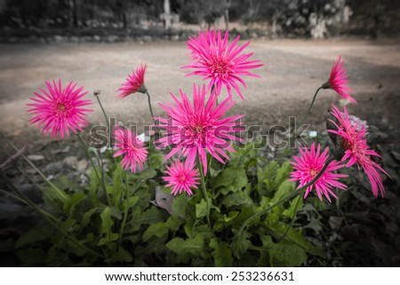 Pink gerbera process in drematic theme - stock photo