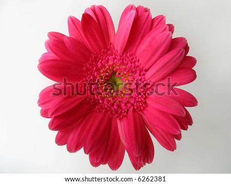 pink gerbera top angle - stock photo