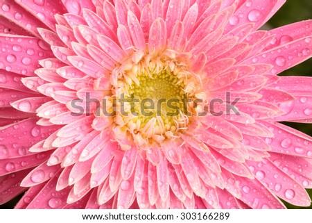Pink Gerbera with drops. - stock photo