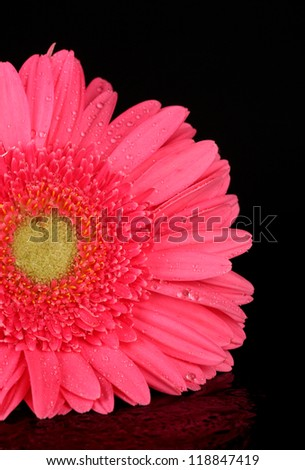 pink gerbera with drops isolated on black