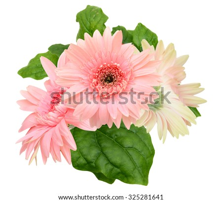 Pink gerbers isolated on white background - stock photo
