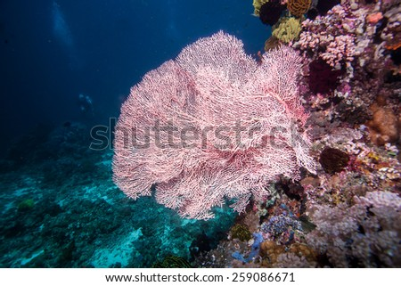 pink giant fan coral - stock photo
