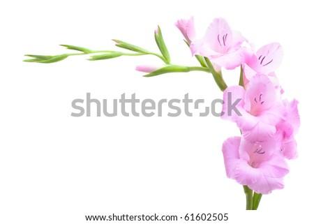 Pink gladiolus isolated on white - stock photo