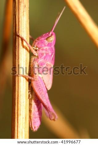 Pink grasshopper, Spain. - stock photo