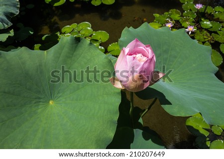 Pink Growing lotus between two big leaves - stock photo