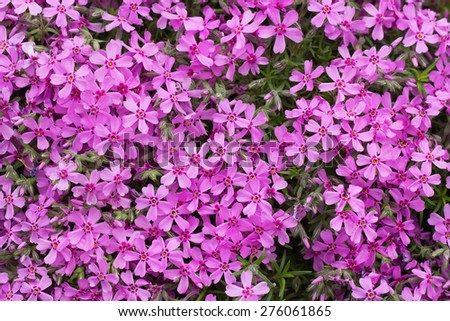 Pink gypsophila repens flower in May - stock photo