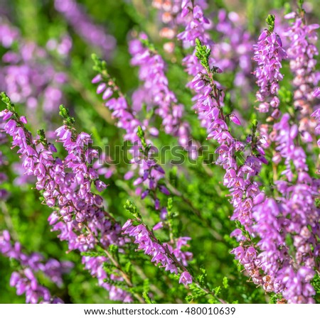 Pink heather. Autumn wallpaper. Flowers macro.
