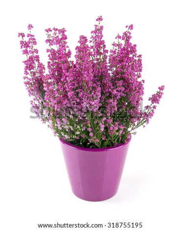 pink heather planted in pot isolated on white - stock photo