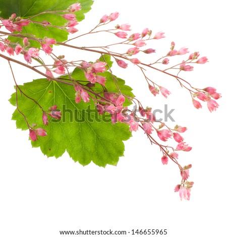 pink heuchera closeup on white background - stock photo