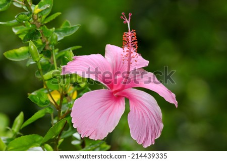 pink hibiscus flower - stock photo