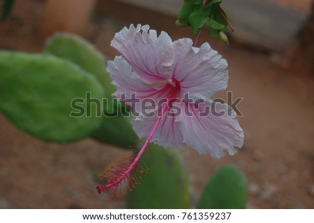 Pink Hibiscus Flower Hawaii National Symbol Stock Photo 761359237