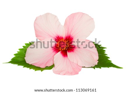 pink hibiscus flower isolated on white background - stock photo