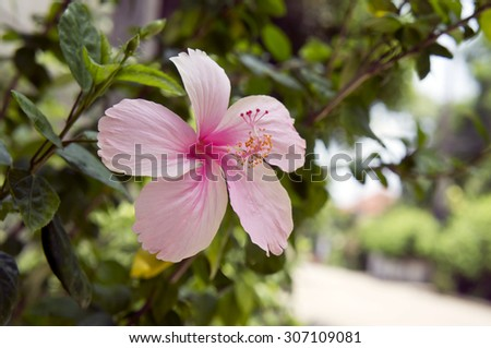 Pink Hibiscus Flower with shallow depth of field - stock photo