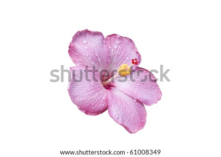 pink hibiscus flower with water droplets isolated on a white background - stock photo