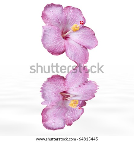 pink hibiscus flower with water droplets with reflection in water