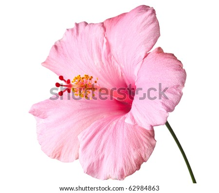 Pink hibiscus isolated on white background.  Clean pure white background- no grey! - stock photo
