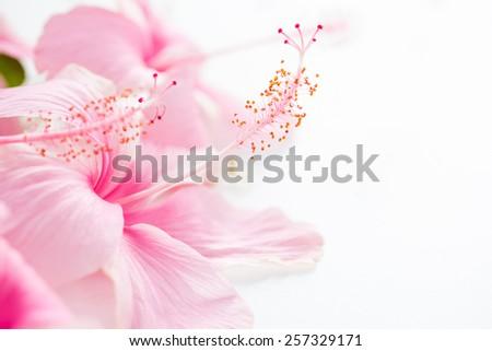 Pink hibiscus on white background, Shallow DOF.  - stock photo
