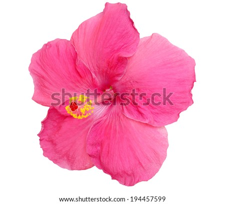 Pink Hibiscus on white background with clipping Path - stock photo