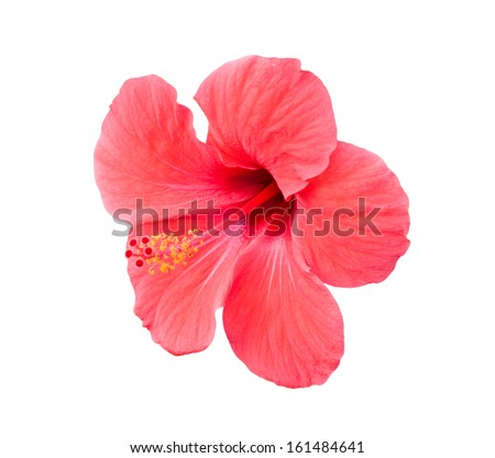 Pink hibiscus tropical flower isolated over white background - stock photo