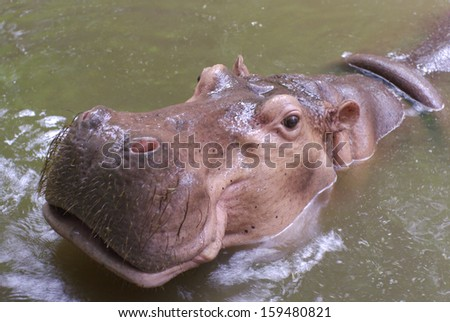 pink hippopotamus from top view