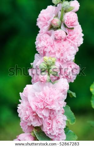 pink hollyhock - stock photo