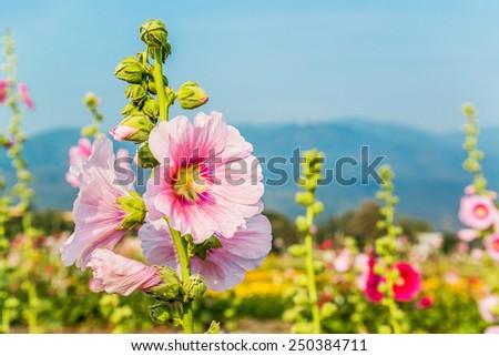 Pink hollyhock flower in garden. - stock photo