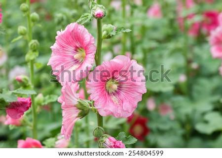 Pink hollyhock flower in the garden. - stock photo
