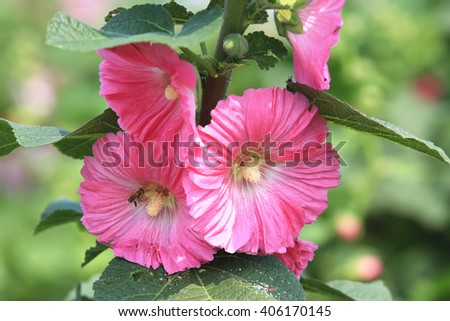Pink hollyhock flowers and bee,closeup of pink flowers and buds blooming in the garden with bee in spring - stock photo