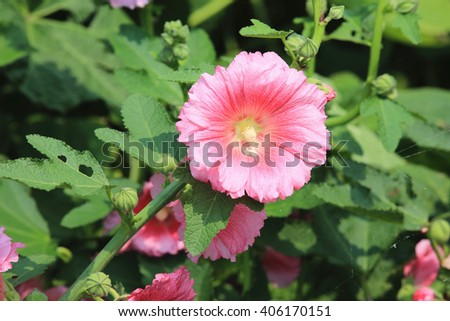Pink hollyhock flowers,closeup of pink flowers and buds blooming in the garden in spring - stock photo