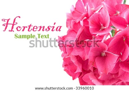 Pink hortensia isolated on white background